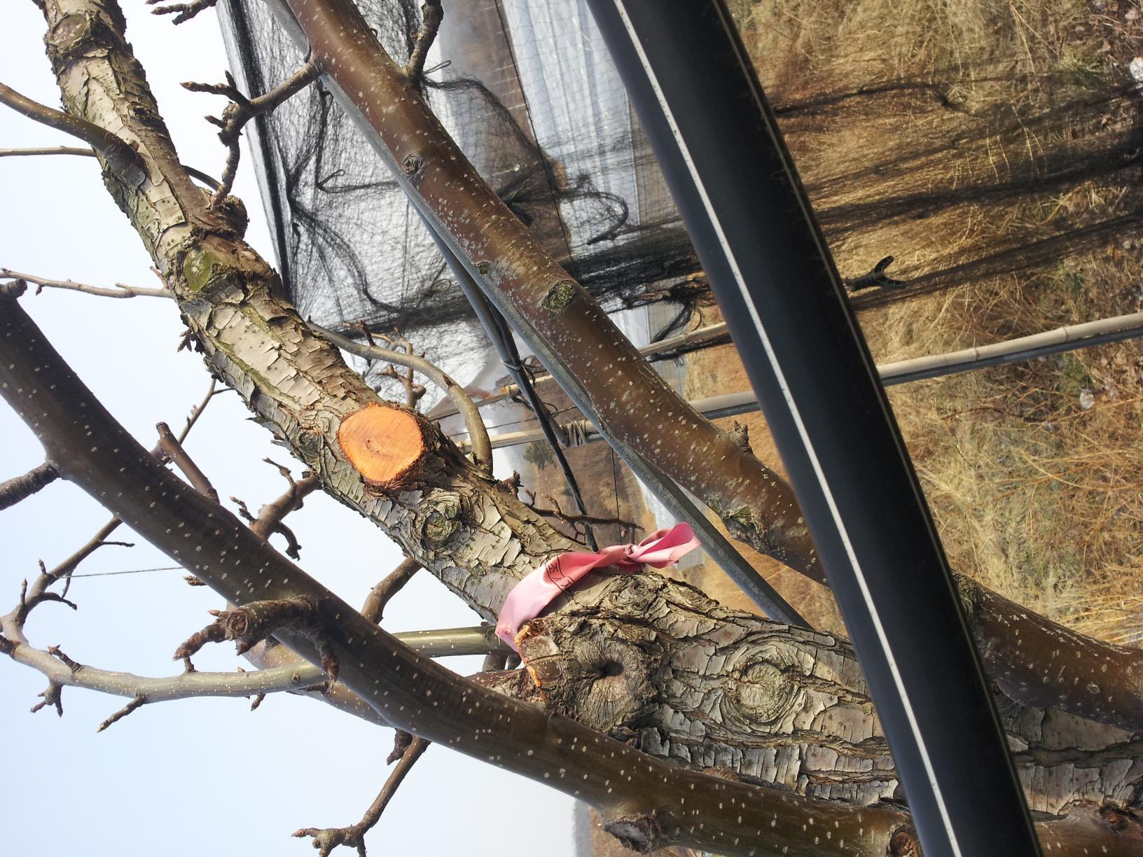 배나무의봄