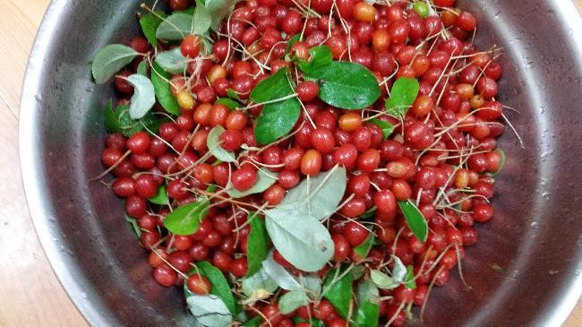 보리수열매 따기